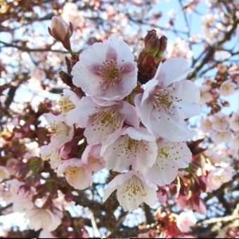 4511-340桜