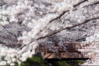 4661-340名古屋の桜