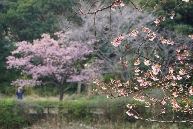 DSC00611寒桜