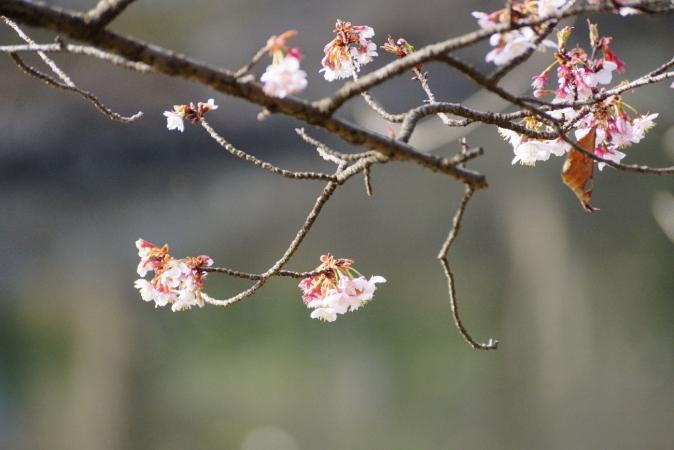 DSC00615寒桜