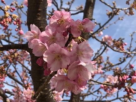 3122018 阿賀公園河津桜S2