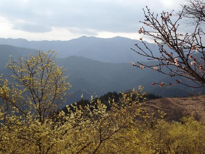 冬桜とロウバイと城峯山