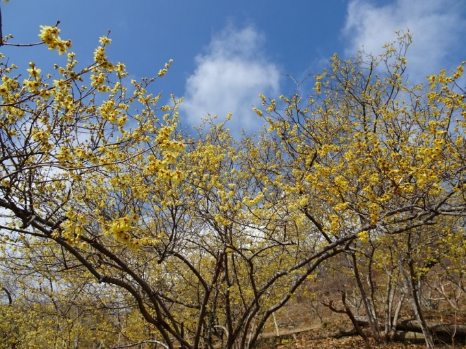 ロウバイの花4