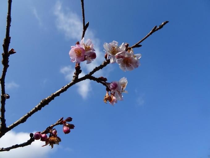 これから咲く冬桜