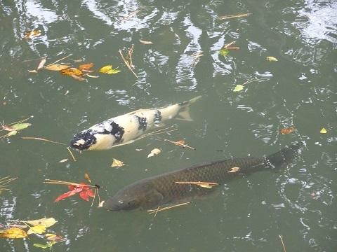2六義園鯉