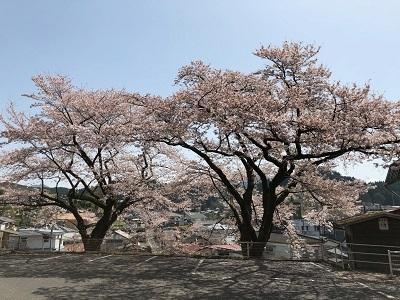 高千穂役場桜