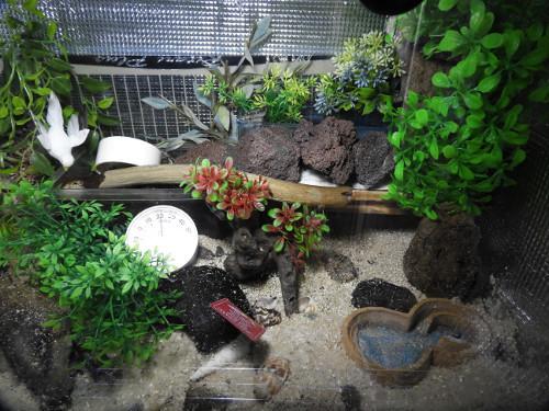 オカヤドカリ水槽リセット前(3)