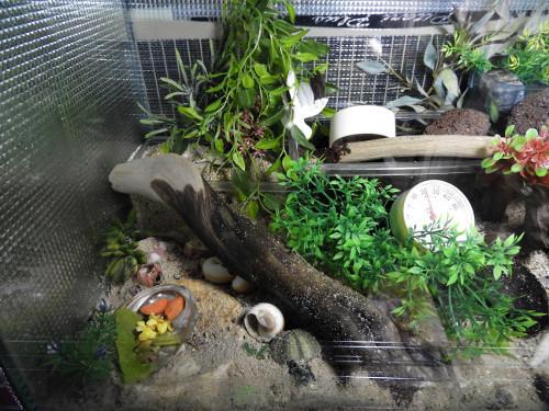 オカヤドカリ水槽リセット前(5)
