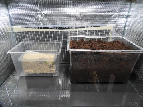 オカヤドカリ水槽リセット(2)