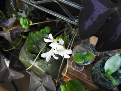 オキザリスの花(3)
