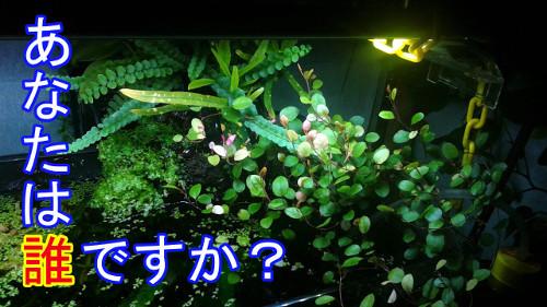 入れた憶えのない植物(5)