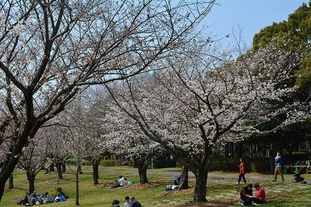 桜春日公園①