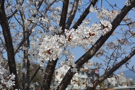 桜春日公園③