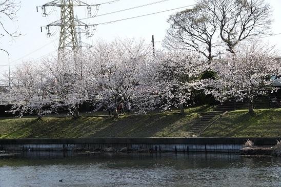 DSC00660桜