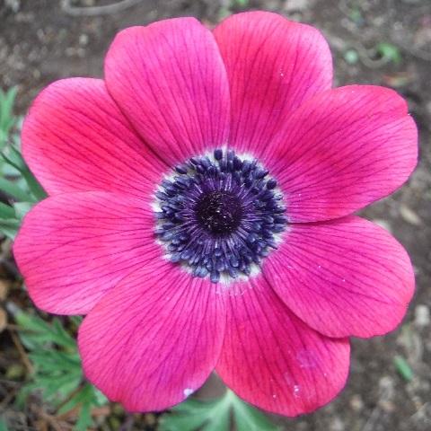Anemone_fulgens_red_purple1-2018.jpg