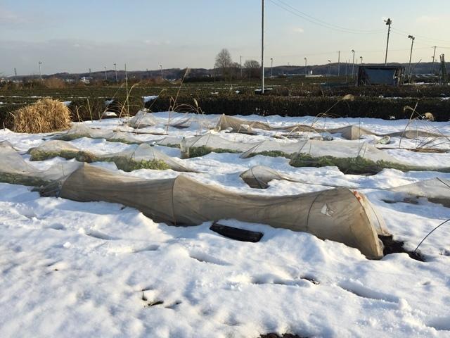 降雪後の畑