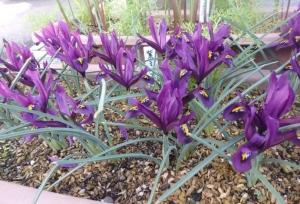 紫色ミニアイリス