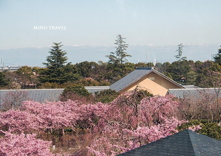 なばなのさと アイランド富士より 河津桜
