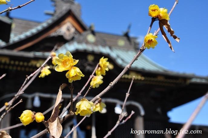 雷電神社の梅と蝋梅2
