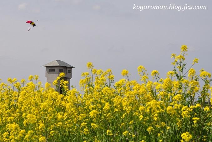 渡良瀬遊水地の菜の花2