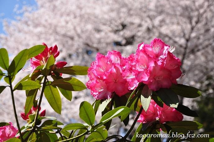 間々田八幡公園の桜5