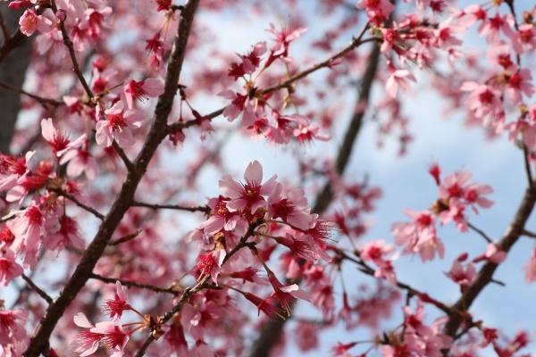 IMG_187020180318鶴見緑地公園の桜