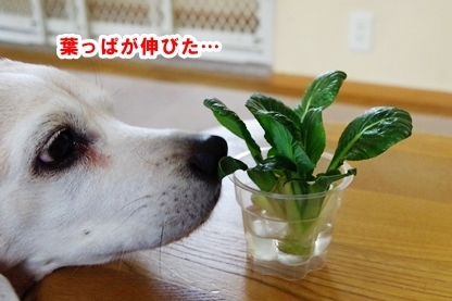 小松菜 2
