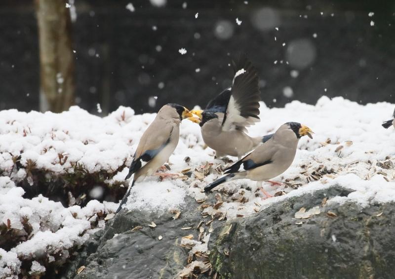 雪の日のシメとイカル⑥