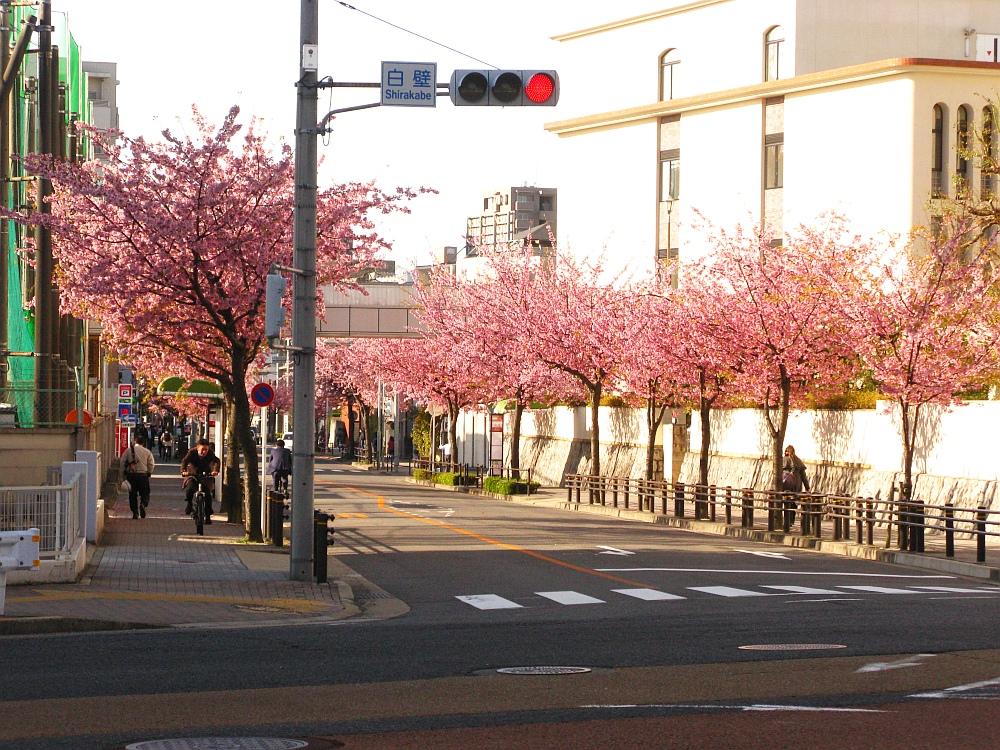 2018_03_23 名古屋市東区泉:大寒桜の並木道01