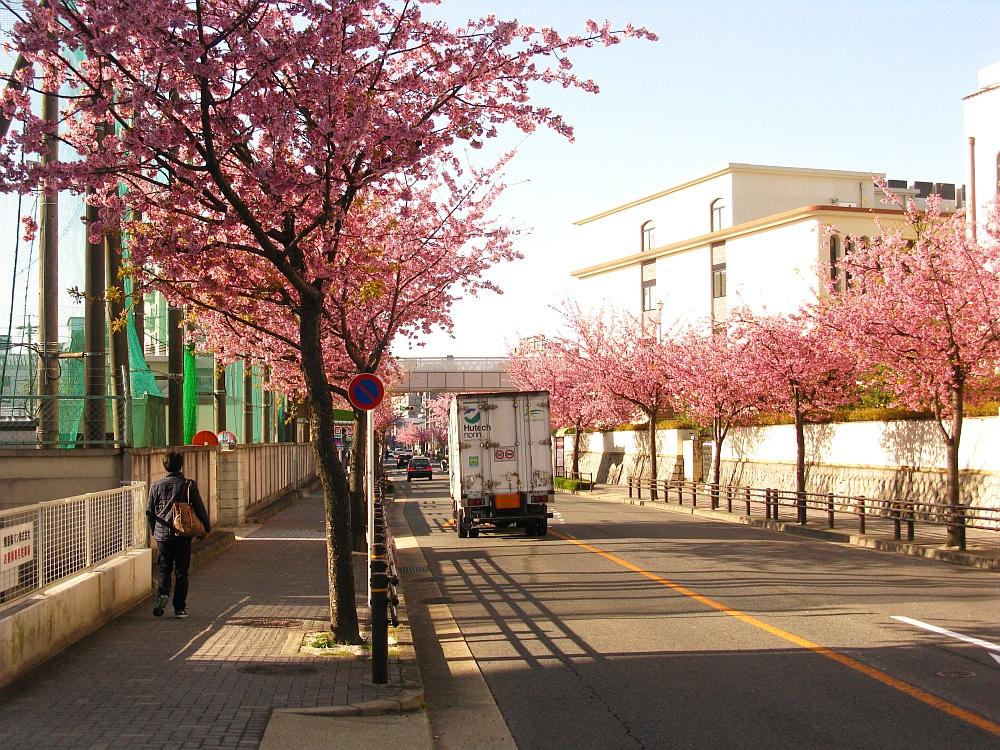 2018_03_23 名古屋市東区泉:大寒桜の並木道02