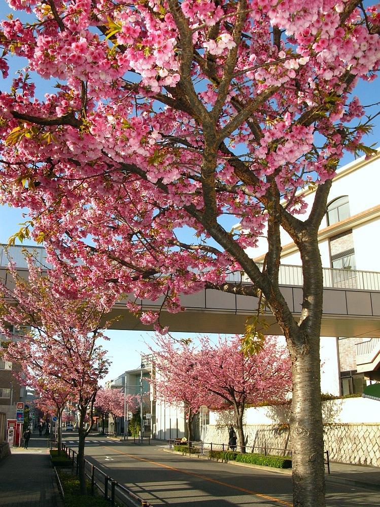 2018_03_23 名古屋市東区泉:大寒桜の並木道04