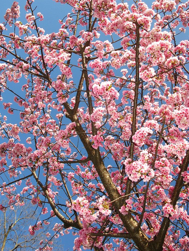 2018_03_23 名古屋市東区泉:大寒桜の並木道06