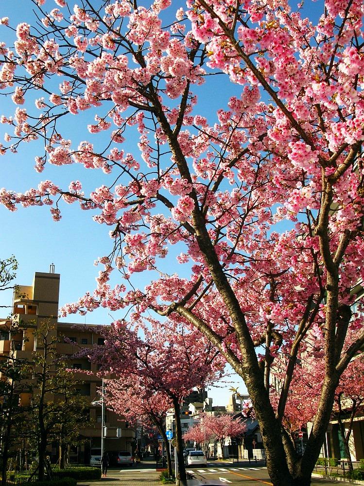 2018_03_23 名古屋市東区泉:大寒桜の並木道08
