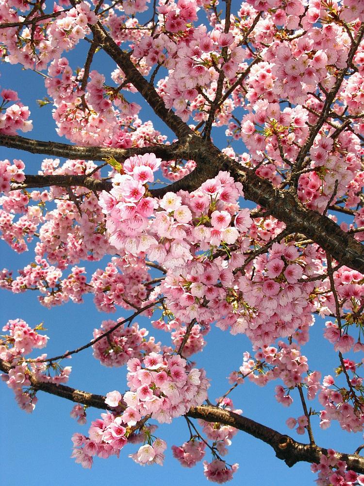 2018_03_23 名古屋市東区泉:大寒桜の並木道09