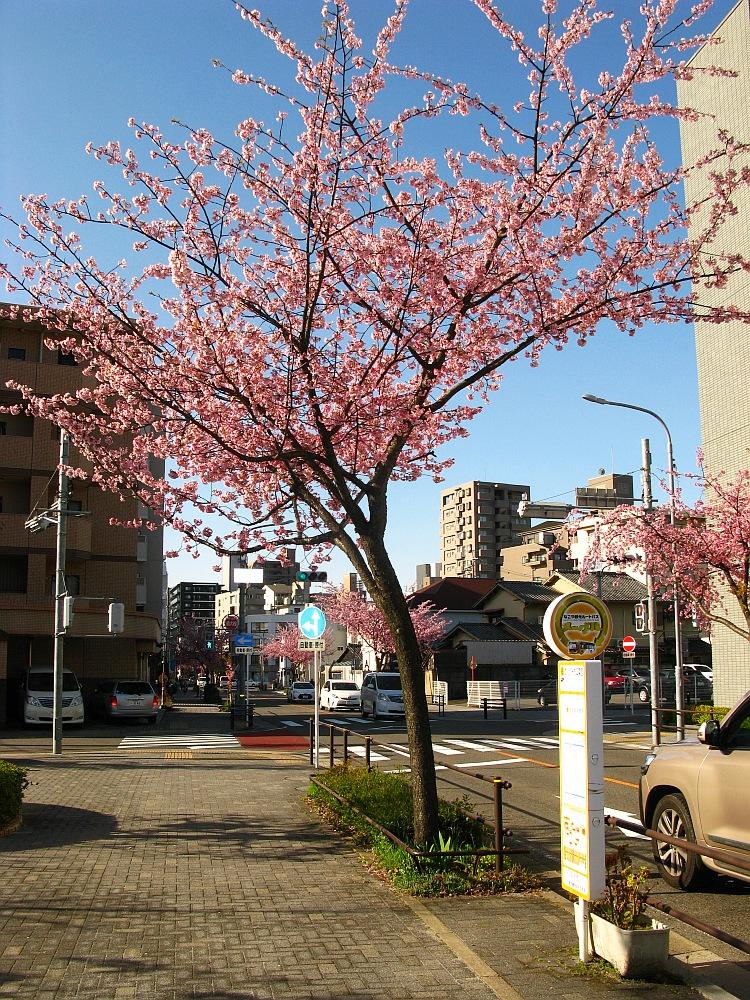 2018_03_23 名古屋市東区泉:大寒桜の並木道10