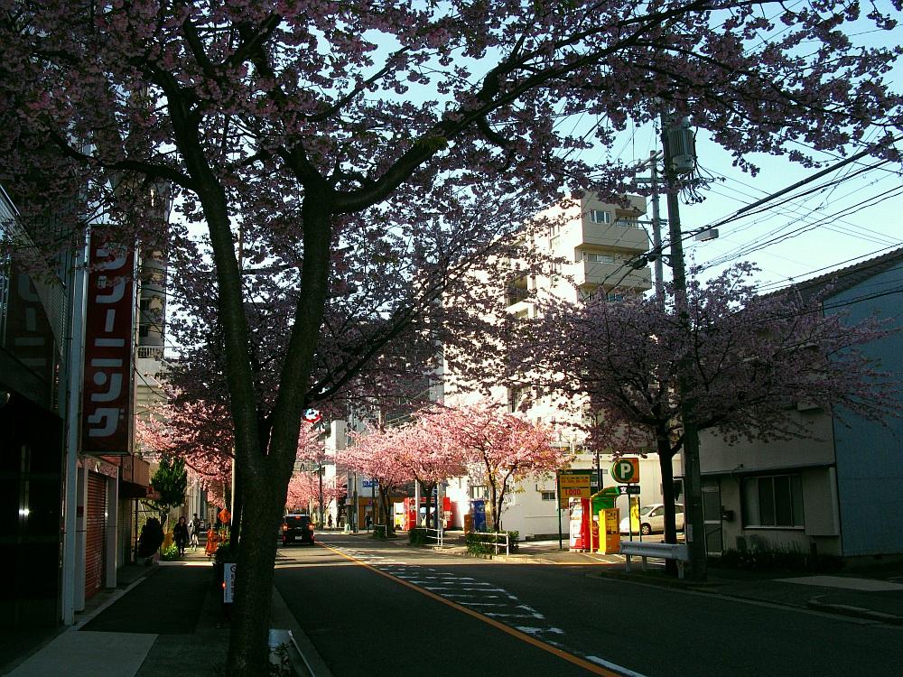 2018_03_23 名古屋市東区泉:大寒桜の並木道12