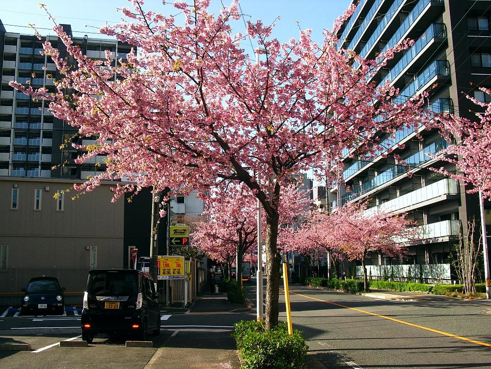 2018_03_23 名古屋市東区泉:大寒桜の並木道13