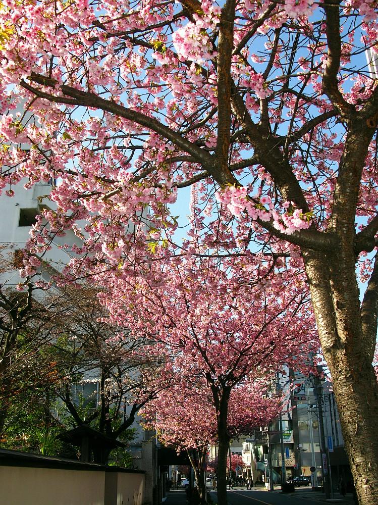 2018_03_23 名古屋市東区泉:大寒桜の並木道14
