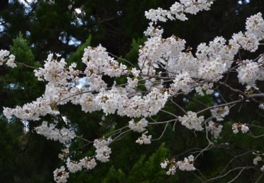 180323-144210-2018桜祭り (132)_R