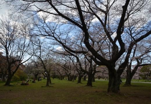 180323-145212-2018桜祭り (181)_R