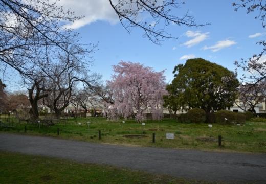 180323-145355-2018桜祭り (186)_R