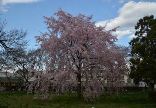 180323-145703-2018桜祭り (210)_R