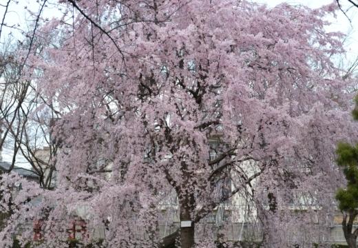 180323-145537-2018桜祭り (197)_R