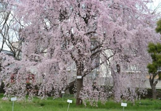 180323-145558-2018桜祭り (202)_R