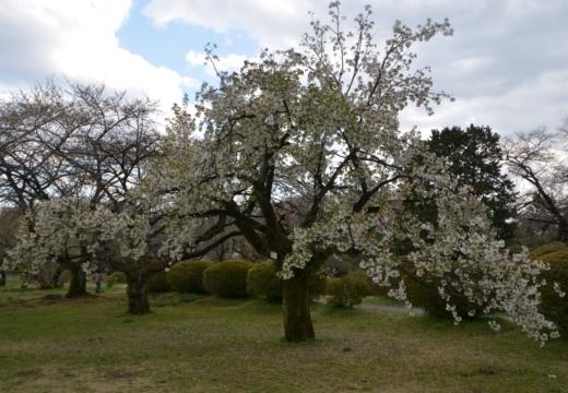 180323-152207-2018桜祭り (275)_R