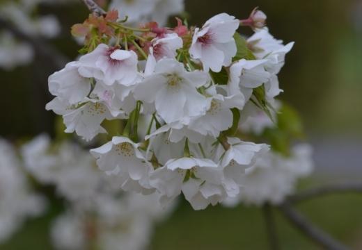 180323-152302-2018桜祭り (285)_R