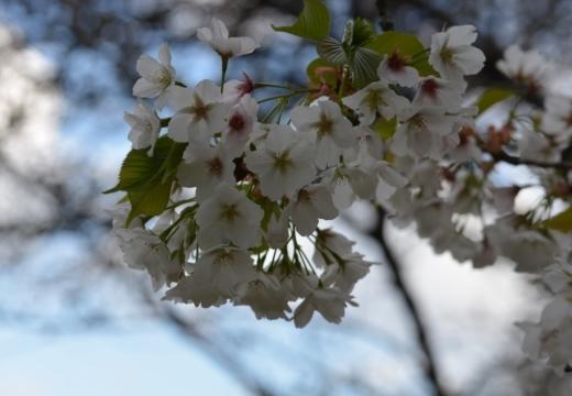 180323-152110-2018桜祭り (273)_R