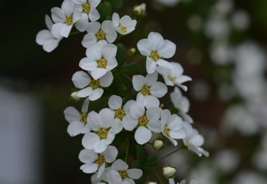 180323-144950-2018桜祭り (169)_R