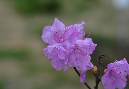 180323-151255-2018桜祭り (238)_R