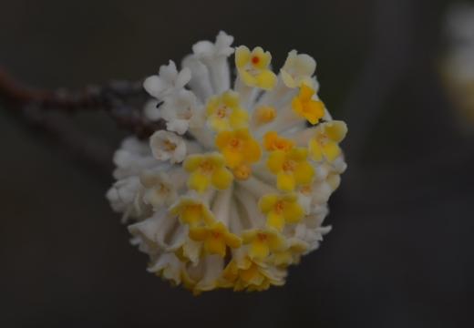 180323-153815-2018桜祭り (337)_R